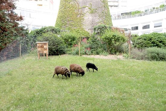 l'éco pâturage grâce a des moutons !